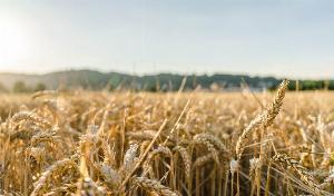 الهند ، من خلال الفواتير الزراعية التي تم تمريرها حديثًا ، تضمن أن السوق الحرة ستكون هي القاعدة