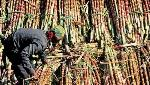 Govt steps in to help sugarcane farmers, assistance of Rs 3,500 crore cleared by Union Cabinet