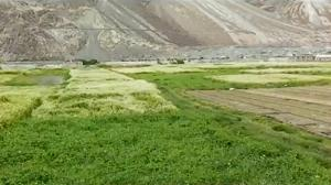Farmers of Ladakh get back to traditional crops, grow buckwheat